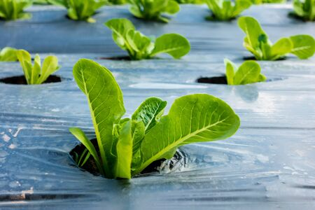 young Cos Lettuce or Romaine Lettuce in a plot