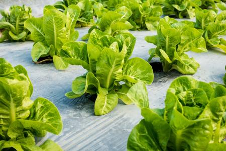 Mini Cos Lettuce in the garden