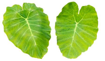 Colocasia esculenta (Araceae) on white background Stock Photo