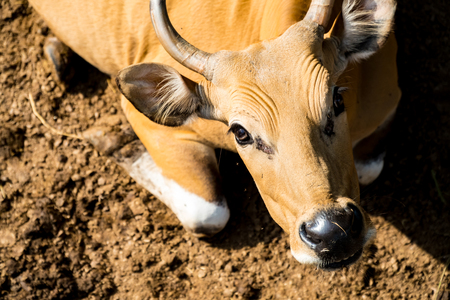 Banteng are exposed to the sun to warm the body in the morning