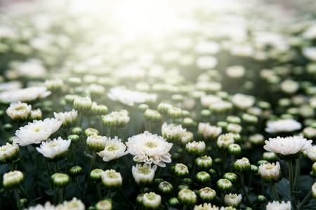 Weiße Chrysantheme im Garten mit Sonnenlicht