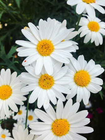 eye: White Daisy, flower, margaret, marguerite, eye of the day