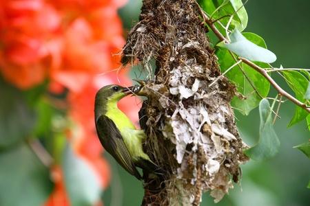 sunbird Thai ,olive-backed  photo