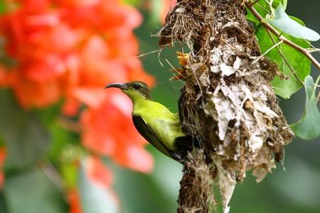 sunbird: sunbird Thai ,olive-backed  Stock Photo