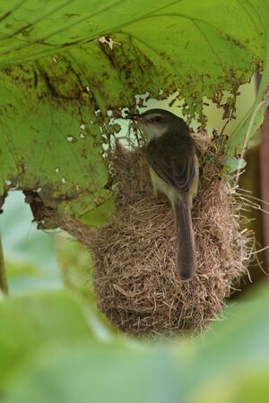 plain prinia bird photo