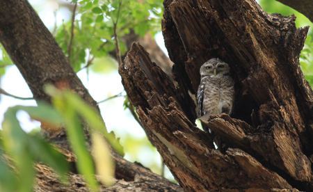 Bird Spotted owlet Athene brama photo