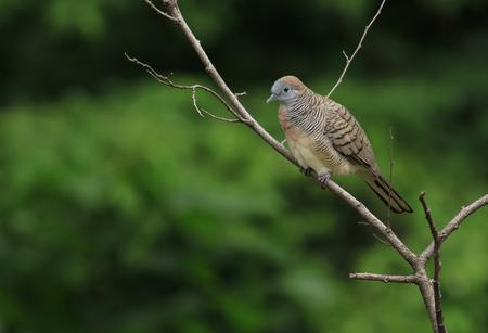 turtle dove: Bird Oriental turtle dove Streptopelia orientalis