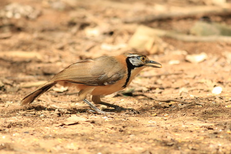 laughingthrush: Greater-necklaced Laughingthrush