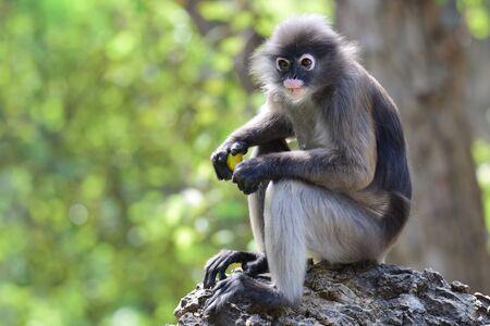 dusky: Dusky Langur ,leaf monkey
