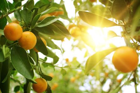 sonne: Orangenbaum Lizenzfreie Bilder
