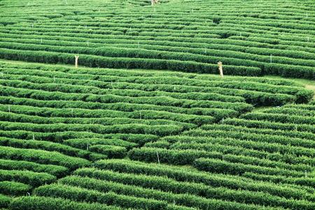 Green tea garden landscape sunset hill cultivation