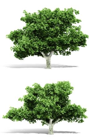 3d tree rendering on white background Banco de Imagens