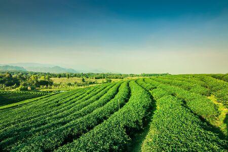 Zielona herbata ogród krajobraz uprawa wzgórza o zachodzie słońca