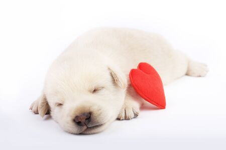 Cute little dog isolated on white background with red heart.