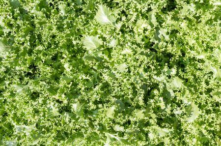 farming plant: Background Lettuce farming plant on mountain in thailand