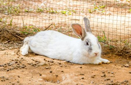 rabbit in cage: White rabbit sleep on dirt floor in net cage. Stock Photo
