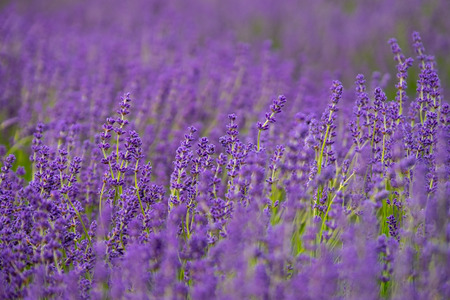 cotswold: Depth of Lavender field, Cotswold lavender field, England, United kingdom