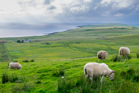 massive: Sheep eating grass in Massive field in a cloudy day, Isle of Skye, Scotland
