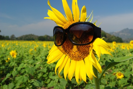 Sunflower with black glasses  Stock Photo - 12343744