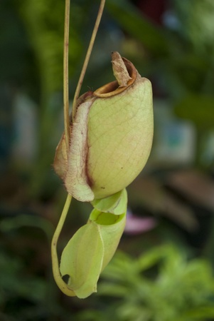 carnivore: Nepenthe tropical carnivore plant  Editorial