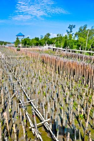 Bamboo dam and Mangrove farm