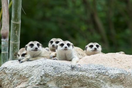 Suricate or meerkat  Suricata suricatta  family Earth males looking for enemies  photo