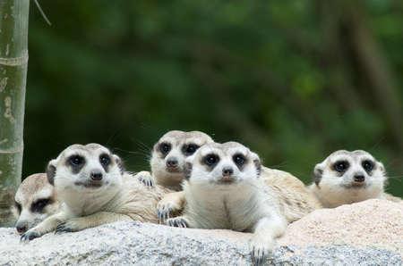erdmaennchen: Suricate or meerkat  Suricata suricatta  family Earth males looking for enemies  Stock Photo
