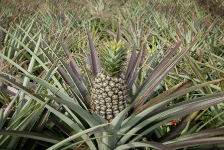 Pineapple, tropical fruit of the Northeast Thailand   photo