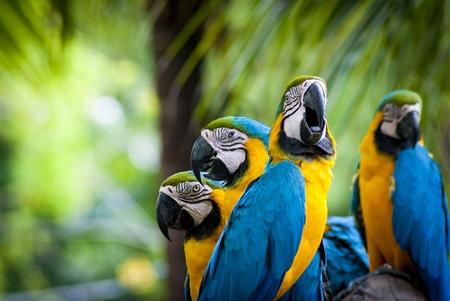 ararauna: macaw parrots in nature