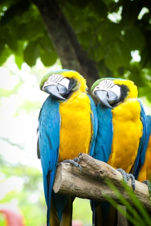 macaw parrots in nature  photo