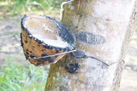 sag: Milk of rubber tree flows into a wooden bowl