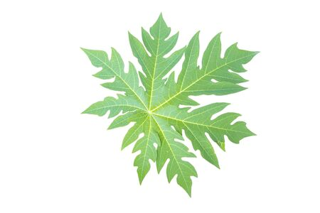 Papaya Leaf isolated  Stock Photo - 16261644