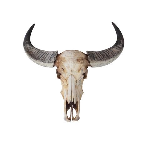 cowboy cartoon: Cow skull with horns on white