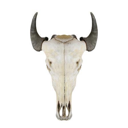 craneo de vaca: Vaca cr�neo con cuernos en blanco Foto de archivo