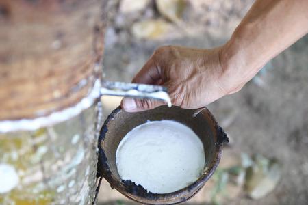 Milky Latex aus Gummibaum extrahiert