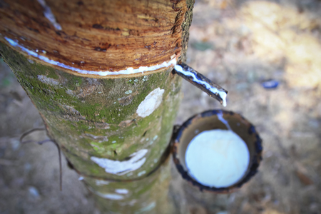 extracted: Milky latex extracted from rubber tree