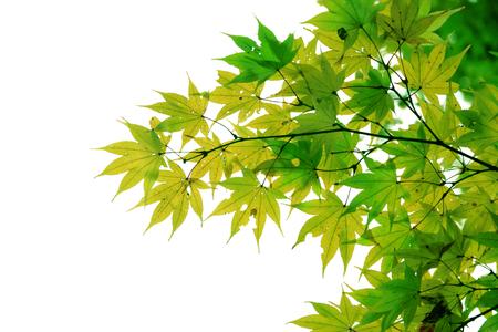 白い背景に分離された日本の赤秋のメープル ツリーの葉 (イロハモミジ) 写真素材 - 69737343