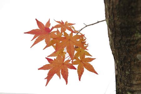 白い背景に分離された日本の赤秋のメープル ツリーの葉 (イロハモミジ) 写真素材 - 70335905