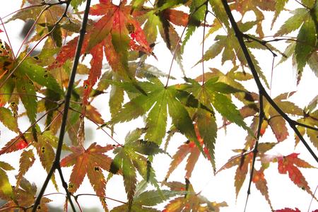 白い背景に分離された日本の赤秋のメープル ツリーの葉 (イロハモミジ) 写真素材 - 69636714