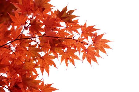 白い背景に分離された日本の赤秋のメープル ツリーの葉 (イロハモミジ) 写真素材 - 69675402