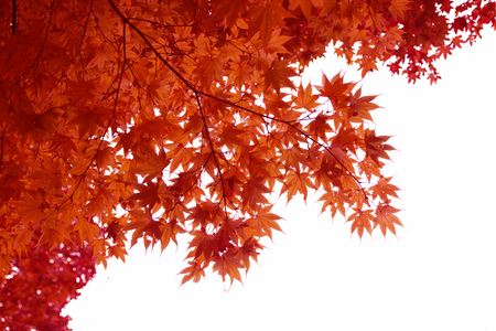 白い背景に分離された日本の赤秋のメープル ツリーの葉 (イロハモミジ) 写真素材 - 69737345