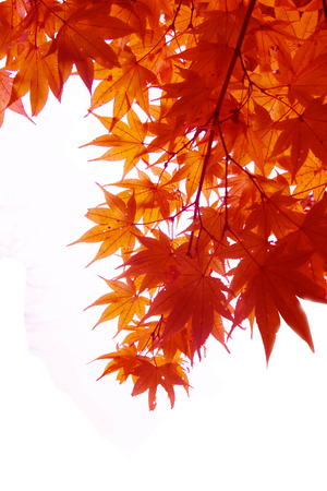 Japanese Red Autumn maple tree leaves (Acer palmatum) Isolated on white background