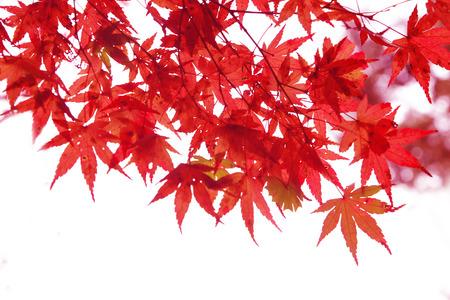 白い背景に分離された日本の赤秋のメープル ツリーの葉 (イロハモミジ) 写真素材 - 69762658