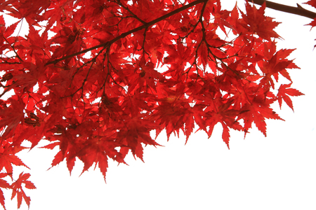 Japanese Red Autumn maple tree leaves (Acer palmatum) Isolated on white background