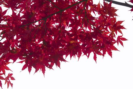 白い背景に分離された日本の赤秋のメープル ツリーの葉 (イロハモミジ) 写真素材 - 70605990