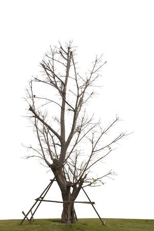 白い背景に分離された単一の古くて死んでツリー 写真素材 - 70009304