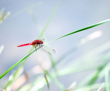 A red dragonfly at rest Sympetrum vulgatum  photo