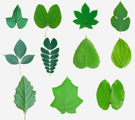 green leaves from trees and shrubs isolated on white background  photo