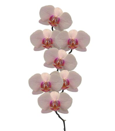 Beautiful pink orchid flowers isolated on white, closeup shot  Stock Photo - 9726722