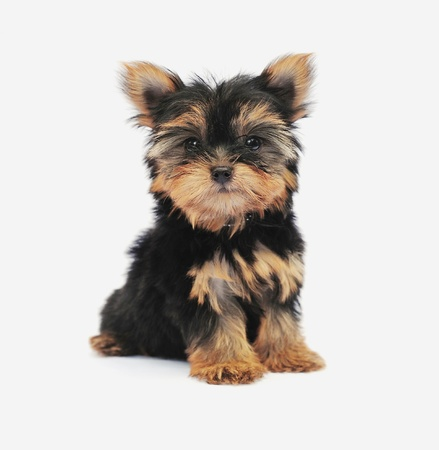 brown haired: Yorkshire Terrier (2 months) in front of a white background